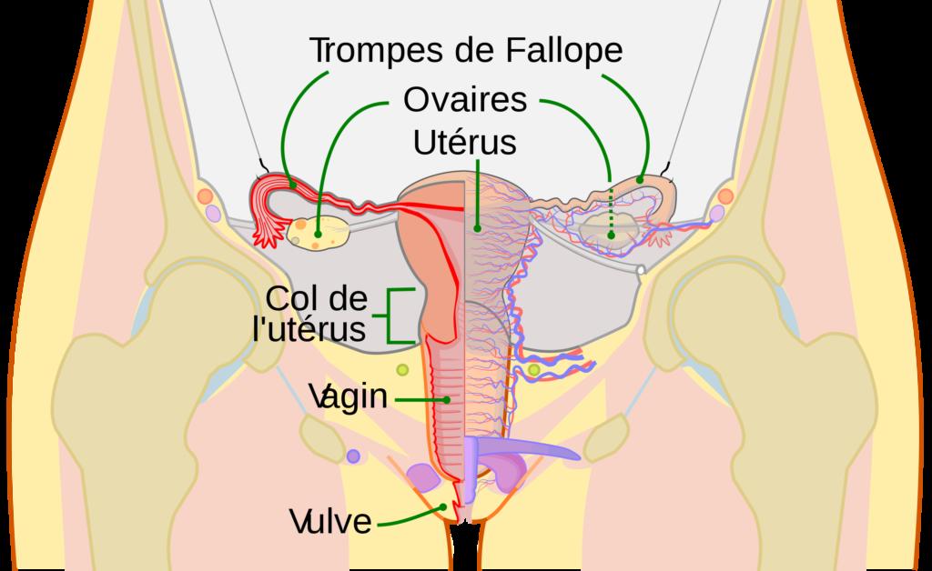 Schémas des trompes de Fallopes